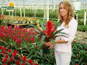 guzmania fire dragon bromeliad