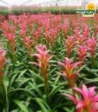 bromeliad guzmania freya