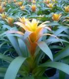 bromeliad guzmania lydia