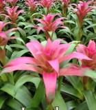 bromeliad guzmania lyndsey