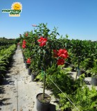 hibiscus red tree