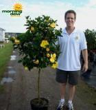 hibiscus standard yellow tree