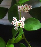 hoya carnosa bloom