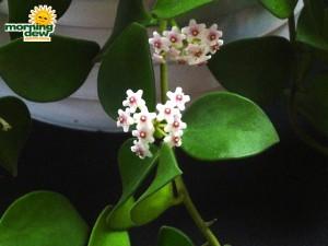 hoya carnosa bloom