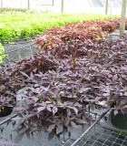 ipomoea sweet potato vine black tie