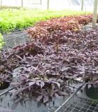 ipomoea sweet potato vine black tie