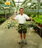 ivy algerian marengo green