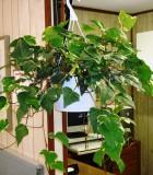 ivy algerian variegated Hanging Basket