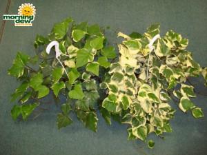 ivy algerian variegated marengo