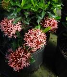 ixora bloom petite pink