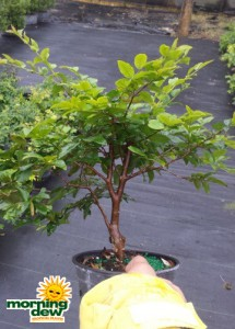 jaboticaba myrciaria cauliflora