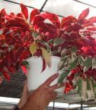 jungle fire exocoecaria