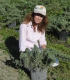 juniper parsonii