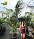 kentia california palm