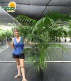 kentia palm hawaiian