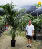 kentia hawaiian palm