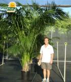 kentia hawaiian palm