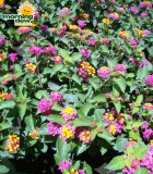 lantana bloom bicolor raspberry