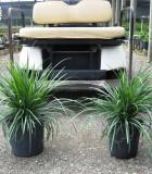 liriope evergreen giant
