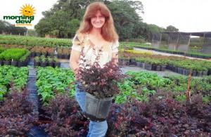 loropetalum bush