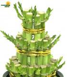 lucky bamboo tier