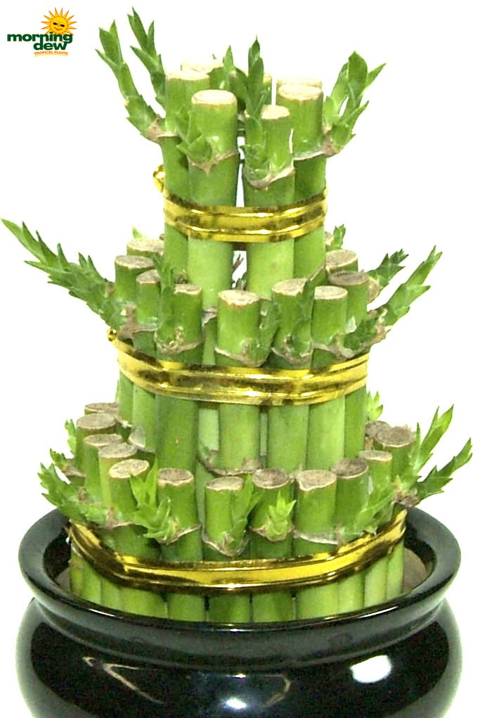 Dish garden morning dew tropical plants lucky bamboo tier workwithnaturefo