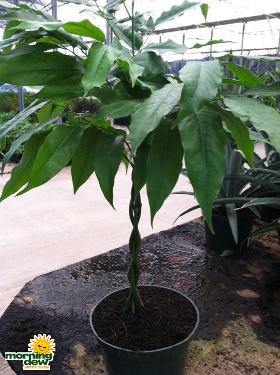 Lucky Bean Morning Dew Tropical Plants