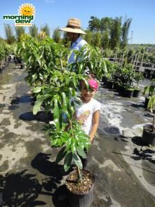 lychee plant tree
