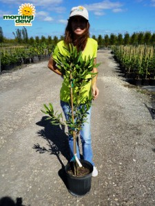 macadamian nut tree