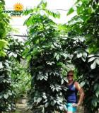 mahogany natal