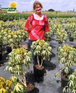 manihot tapioca