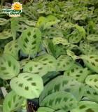 maranta green