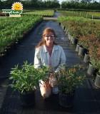 milkweed asclepias bush