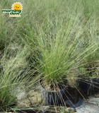 muhlenbergia grass