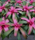 bromeliad neoregelia cotton candy