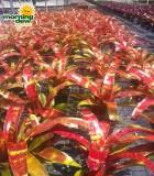 bromeliad neoregelia gazpacho
