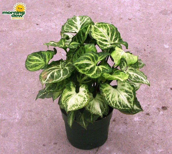 Nephthytis Morning Dew Tropical Plants