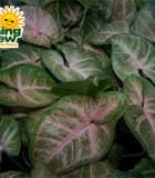 nephthytis pink margarita syngonium