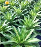 bromeliad nidularium mystery