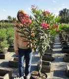 oleander braid
