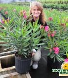 oleander bush calypso