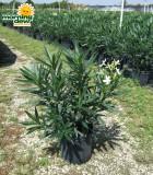 oleander bush white
