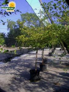 olive black large leaf tree