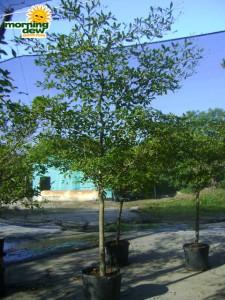 olive black large leaf