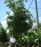 olive black shady lady tree