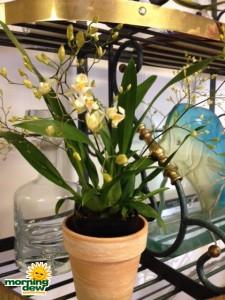 orchid oncidium