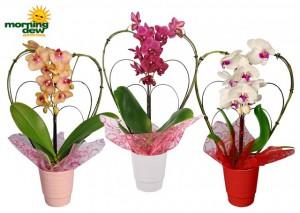 orchid phalaenopsis heart shape