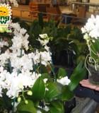 orchid phalaenopsis multi flora