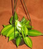 orchid vanilla bean plant
