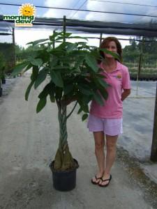 pachira braid money  tree